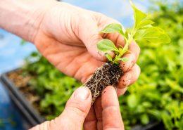 Stevia planta de semillero