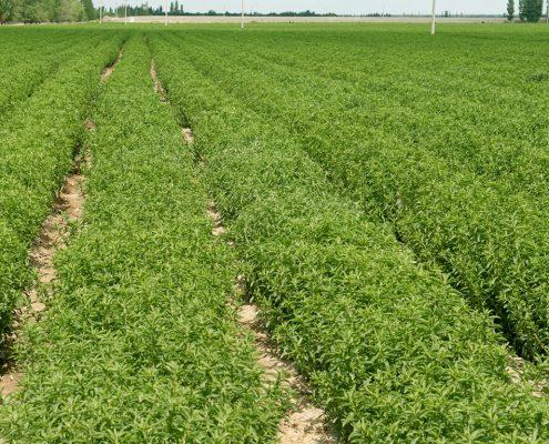 Stevia plantacion