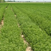 Stevia plantation Inka Sweet